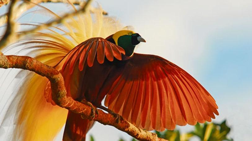 Parades des oiseaux de Paradis