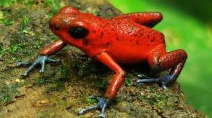 L'aposémantisme de la grenouille des fraises et du kokoï